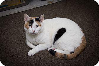 Calico Cat for adoption in Chicago, Illinois - Violet
