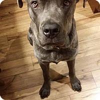 Adopt A Pet :: Zeus - Woodstock, ON