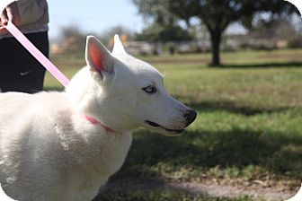 Husky Mix Dog for adoption in McAllen, Texas - Pinky