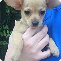 Adopt A Pet :: TuTu - Aurora, CO
