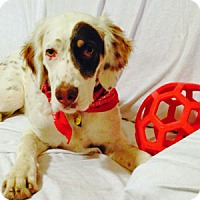 English Setter Dog for adoption in New Braunfels, Texas - Kuper