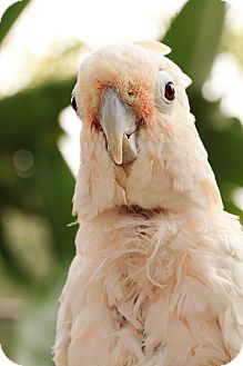 Cockatoo for adoption in Del Mar, California - Wilhemina