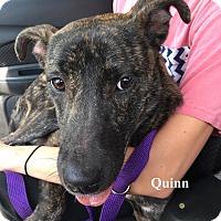 Adopt A Pet :: Quinn - Orangeburg, SC