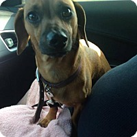 Dachshund/Chihuahua Mix Dog for adoption in Hedgesville, West Virginia - Buster Brown