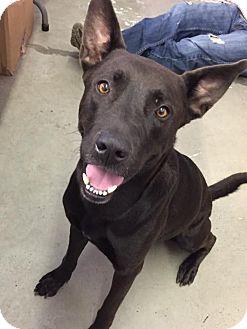 Labrador Retriever Mix Dog for adoption in Miami, Florida - Polo