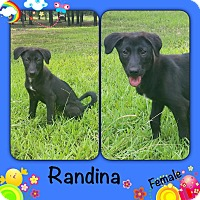 Adopt A Pet :: Randina Adoption pending - Manchester, CT