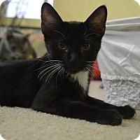 Adopt A Pet :: Cleo - Chandler, AZ