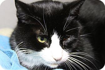 Domestic Shorthair Cat for adoption in Sarasota, Florida - Winkin
