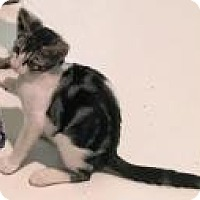 "Adopt A Pet :: Aasi ""beautiful girl"" - Mission Viejo, CA"
