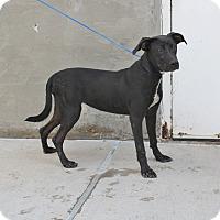 Adopt A Pet :: A19 Daise - Odessa, TX
