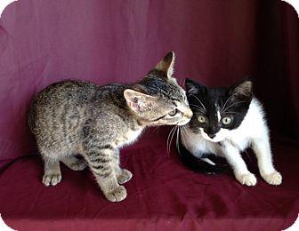 Domestic Shorthair Kitten for adoption in Thomaston, Georgia - Destiny/Domino/Dante