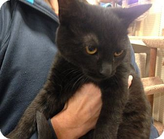 Domestic Shorthair Kitten for adoption in Toledo, Ohio - Lucy