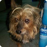 Yorkie, Yorkshire Terrier Dog for adoption in Ogden, Utah - Koda Bear