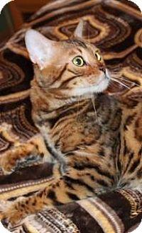 Bengal Cat for adoption in Glendale, Arizona - Golden Rule