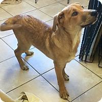 Adopt A Pet :: Peter - Phoenix, AZ
