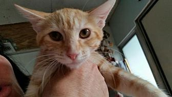 Domestic Shorthair Cat for adoption in Port Richey, Florida - minnie