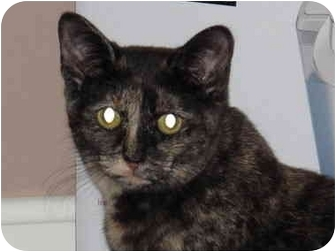 Domestic Shorthair Cat for adoption in Port Republic, Maryland - Speckles