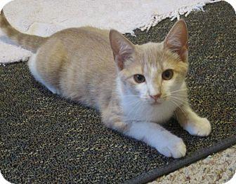 Domestic Shorthair Kitten for adoption in N. Billerica, Massachusetts - Nigel