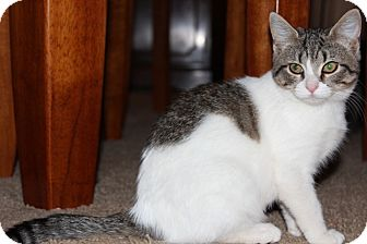 American Shorthair Kitten for adoption in Foster, Rhode Island - Maude