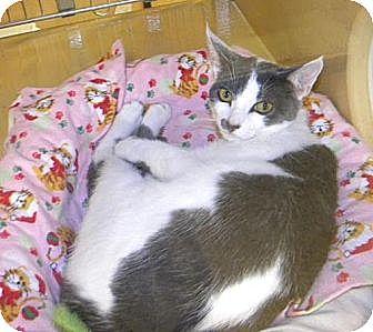 Domestic Shorthair Kitten for adoption in Miami, Florida - Sasha