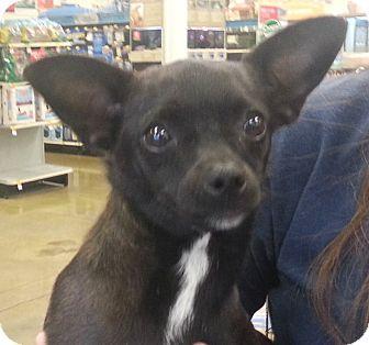 Chihuahua Mix Dog for adoption in Orlando, Florida - Nadine