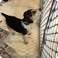 Adopt A Pet :: Snoopy - Russellville, AR