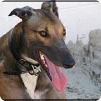 Adopt A Pet :: Flash - St Petersburg, FL
