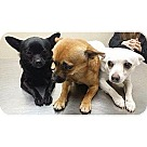Adopt A Pet :: Chihuahua Males 3 6-7 lbs