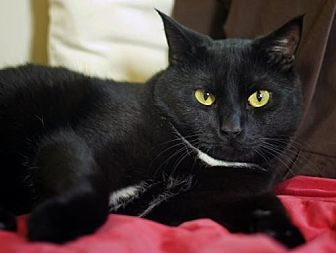 Domestic Shorthair Cat for adoption in Cincinnati, Ohio - zz 'Little' courtesy post