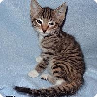 Adopt A Pet :: Flip - Bentonville, AR