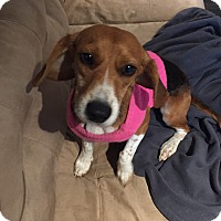 Adopt A Pet :: Lyza in CT - East Hartford, CT