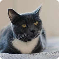 Adopt A Pet :: Gussie, Gorgeous Russian Blue Mix! - Brooklyn, NY