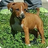 Adopt A Pet :: Hammer - Gainesville, FL