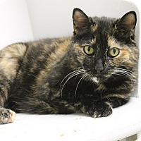 Domestic Shorthair Cat for adoption in Medina, Ohio - Freckles