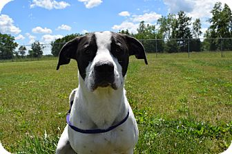 American Pit Bull Terrier/Boxer Mix Dog for adoption in Bucyrus, Ohio - Diesel