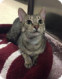 Domestic Shorthair Cat for adoption in Barrington Hills, Illinois - Mary