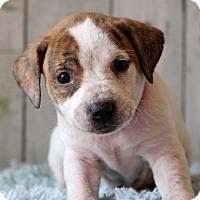 Adopt A Pet :: Genesis - Waldorf, MD