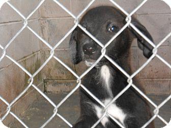 Labrador Retriever/Doberman Pinscher Mix Puppy for adoption in Falls Mills, Virginia - Mona