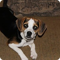Chihuahua/Beagle Mix Puppy for adoption in Cincinnati, Ohio - Marlie
