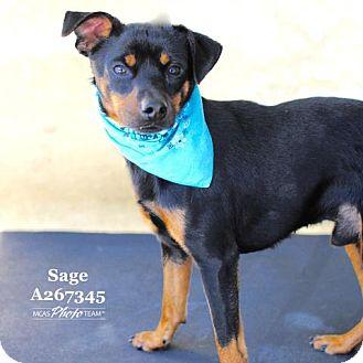 Miniature Pinscher Dog for adoption in Conroe, Texas - SAGE