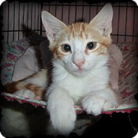 Domestic Shorthair Cat for adoption in Mission Viejo, California - Diego and Frieda