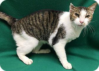 Domestic Shorthair Cat for adoption in Watauga, Texas - Kipp