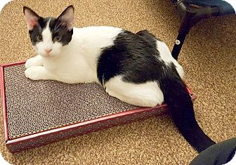Domestic Mediumhair Cat for adoption in Concord, North Carolina - William