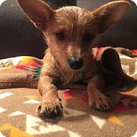 Yorkie, Yorkshire Terrier Mix Dog for adoption in Seattle, Washington - Apple Reber