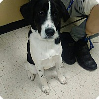 Border Collie Dog for adoption in Kendall, New York - Snoopy