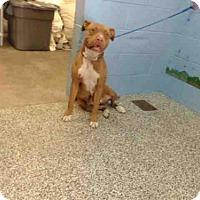 Adopt A Pet :: A499928 - San Bernardino, CA