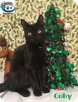 Domestic Shorthair Kitten for adoption in Huntsville, Ontario - Coby - Loves to play!