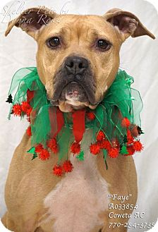 Boxer/Labrador Retriever Mix Dog for adoption in Newnan City, Georgia - Faye
