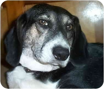 Beagle Mix Dog for adoption in Youngsville, Louisiana - Timmy