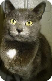 Russian Blue Cat for adoption in Lincolnton, North Carolina - Mystique
